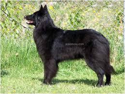 belgian sheepdog varieties belgian sheepdog belgian shepherd dog breed