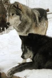 graywolfconservation com dogs of america