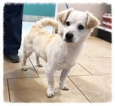 american eskimo dog new mexico dogs for adoption american eskimo dog petcurious