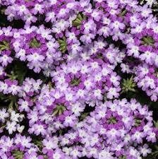verbena flower verbena costa farms