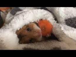 Hamster Bed Hamster Loves Breakfast In Bed U2013 Fuzzfeed