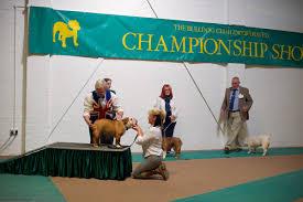 Sho Rudy the bulldog club inc bulldog show rudy bulldog