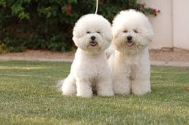 2 month old bichon frise what is a good price for a bichon puppy quora