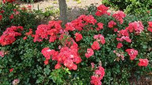 drift roses buy drift coral online free shipping 99 99