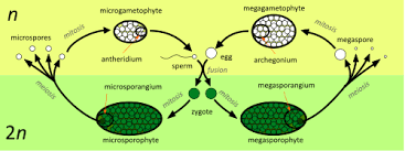 Life Cycle Of A Flowering Plant - alternation of generations wikipedia