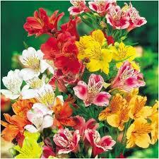 peruvian lilies alstroemeria hybrida peruvian seeds dr salters mixture