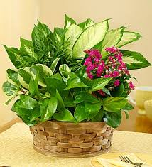 funeral plants funeral plants fn p008 everest florist and gifts