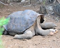 Pinta Island tortoise