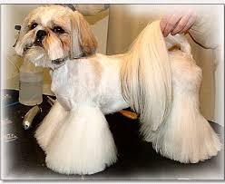 haircuts for shih tzus males boy shih tzu haircuts shih tzu cut down by doggie bow ties