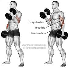 dumbbell hammer curl an isolation pull exercise muscles worked