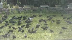 huge flock of pretty birds taking off pigeons redwinged blackbirds
