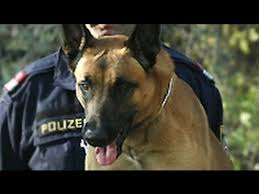 belgian shepherd special forces belgian malinois the breed believed to have accompanied navy