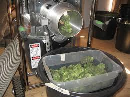 drying buds u2013 marijuanagrowing com
