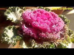 20 how to care kale ornamental cabbage