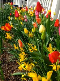 daffodils oh grow up