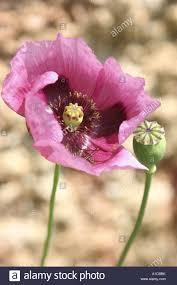 Opium by Opium Poppy Papaver Somniferum Flower And Capsule Spain