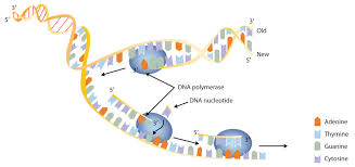 Dna Structure And Replication Worksheet Key 19 3 Replication And Expression Of Genetic Information