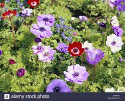 anemones flowers flower bed crown anemones anemone coronaria garden bed plants