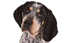 bluetick coonhound sale bluetick coonhound dog breed information american kennel club