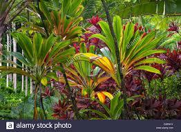 hawaii plants ti plants hawaii tropical botanical gardens hawaii the big