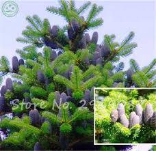 best selling japanese ornamental potted pine tree seeds purple pine