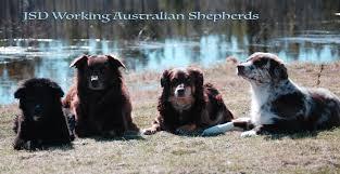 australian shepherd newfoundland jonssons stock dogs u2013 jsd working australian shepherds