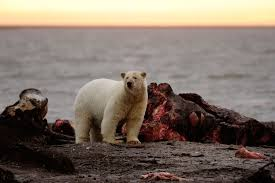 desperate polar bears have turned to scavenging from people
