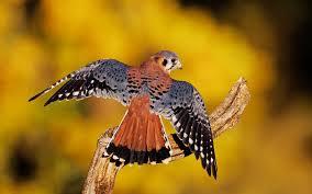 6 hd kestrel bird wallpapers hdwallsource com