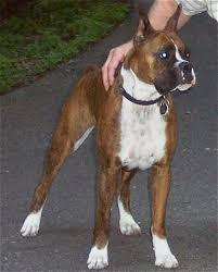 100 boxer dog boxer dog breed information and pictures