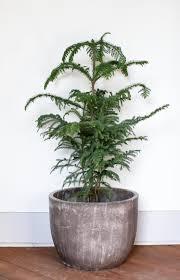 best 25 large indoor plants ideas on pinterest indoor green