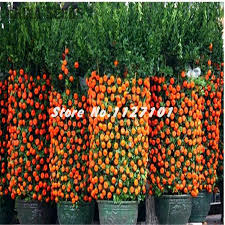 Online Fruit Trees For Sale - compare prices on patio fruit trees online shopping buy low price