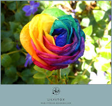 multicolored roses multicolored rainbow by lilystox on deviantart