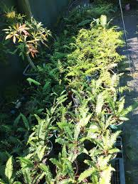 hedging plants budget wholesale nursery about us earthforce