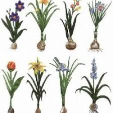 22 best flower bulbs images on beautiful flowers