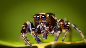halloween jumping spider spider wallpapers best wallpapers hd wallpapers pinterest