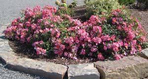 drift roses pink drift buy online best prices