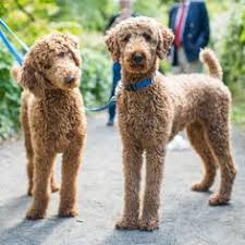 different styles of hair cuts for poodles my fav standard poodle cut just like a big teddy bear furry