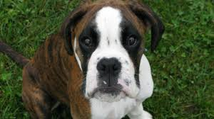100 boxer dog any owners of euro or german boxers page 3 boxer forum