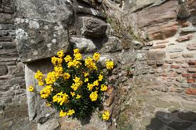 wall flowers wallflowers erysimum cheiri are sweetly scented with bright colours