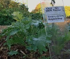 kale varieties types you should before planting sproutabl