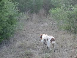 bobwhite quail hunting u2013 finally u2013 gentleman farmer