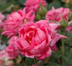 roses for sale pink knockout for sale garden goods direct
