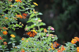 Monarch Migration Map Monarch Butterfly Migration News