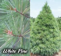 types of trees sugar pines farm