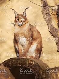 desert lynx caracal caracal siting on the stone stock photo