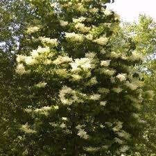 silk lilac tree