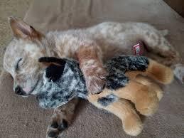 australian shepherd red heeler mix best 25 blue heeler dog ideas on pinterest cattle dogs facts