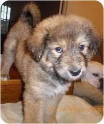 australian shepherd collie mix blaze adopted puppy pom kris staunton va border collie