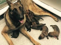 belgian malinois vermont puppies
