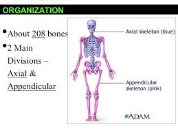 Appendicular Skeleton Worksheet Skeletal System Ppt Video Online Download